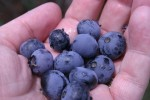 Fresh Blueberry Season